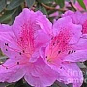 Lilac Azalea Art Print