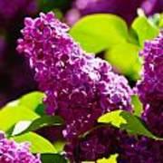 Lilac Bloom Art Print