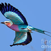 Lilac-breasted Roller In Flight Art Print