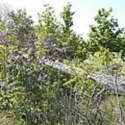 Lilac Fence IIi Art Print