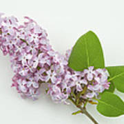 Lilac Flowers - White Background Art Print