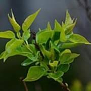 Lilac Leaves Art Print