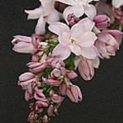Lilac On Black Art Print