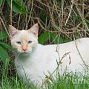 Lilac Point Siamese Cat Art Print