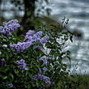 Lilacs By The River Art Print