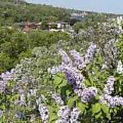 Lilacs On The Hill Art Print