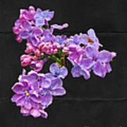 Lilacs - Perfumed Dreams Art Print
