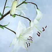 Lilies On Blue Art Print