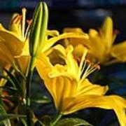 Lillies Of Gold Art Print