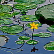 Lilly Pad Pond Art Print