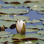 Lilly Pad With Bloom Art Print