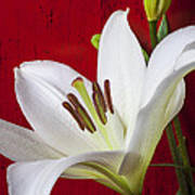 Lily Against Red Wall Art Print by Garry Gay