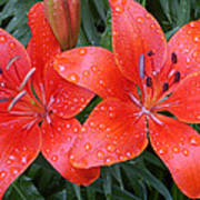 Lily Duet After The Rain Art Print
