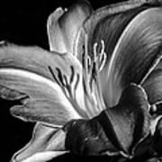 Lily In Black In White Art Print