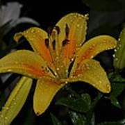 Lily In The Rain Art Print