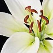 Lily In Winter Art Print