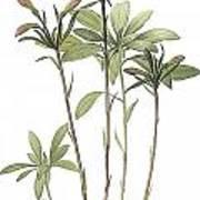 Lily Of The Incas Art Print