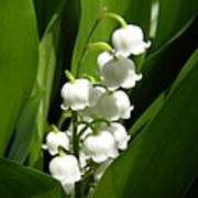 Lily Of The Valley 1 Art Print