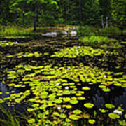 Lily Pads On Lake Art Print