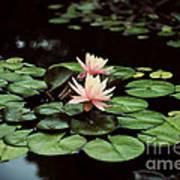 Lilypad And Lotus Art Print