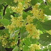 Lime Trees In Bloom  Art Print