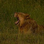Lion   #1050 Art Print