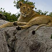 Lion   #1646 Art Print