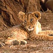 Lion Cub Panthera Leo Art Print