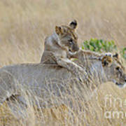 Lion Cub Playing With Female Lion Art Print