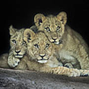 Three Lion Cubs Art Print