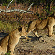 Lion Cubs Of Zimbabwe  Art Print