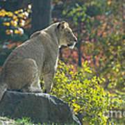 Lion In Autumn Art Print