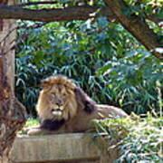 Lion King At Washington Zoo Art Print