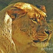 Lioness 2012 Art Print