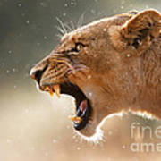 Lioness Displaying Dangerous Teeth In A Rainstorm Art Print