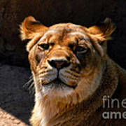 Lioness Hey Are You Looking At Me Art Print