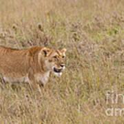 Lioness, Kenya Art Print