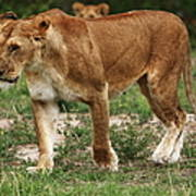Lioness On The Masai Mara Art Print