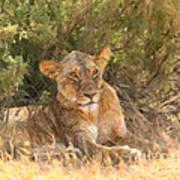 Lioness  Panthera Leo Resting Art Print
