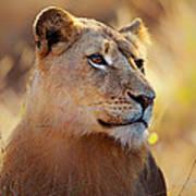 Lioness Portrait Lying In Grass Art Print