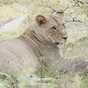 Lioness Relaxing Art Print