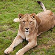 Lioness Sitting In Grass Art Print