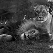 Lions Me And My Guy Art Print