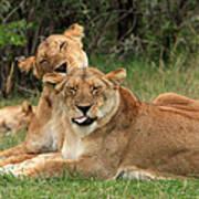 Lions Of The Masai Mara  Art Print