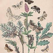 Liparidae - Notodonitdae Art Print