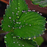 Liquid Pearls On Strawberry Leaves Art Print