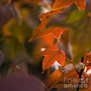 Liquidambar Autumn Art Print
