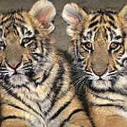 Little Angels Bengal Tigers Endangered Wildlife Rescue Art Print