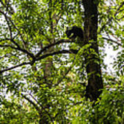 Little Bear Cub In Tree Cades Cove 2 Art Print