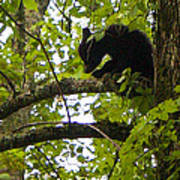 Little Bear Cub In Tree Cades Cove Art Print